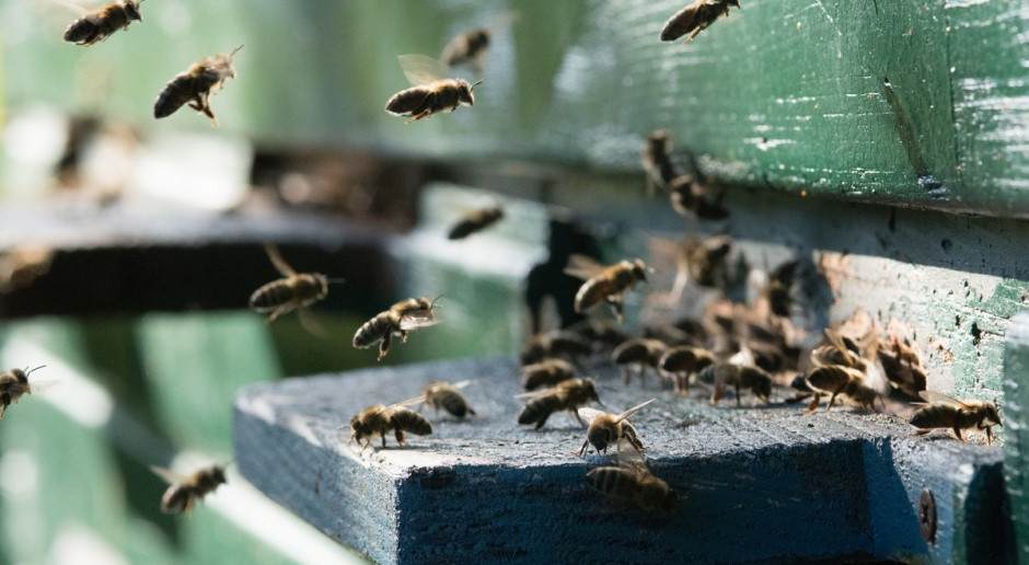 Powstał pierwszy fungicyd, stosowany wyłącznie za pośrednictwem pszczół