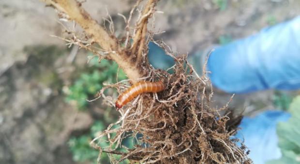 Szkodniki coraz bardziej odporne na insektycydy