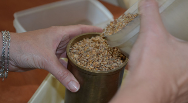 Duża podaż ziarna zbóż – magazyny pełne?
