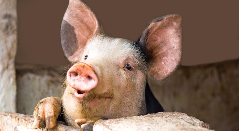 Przebadano ponad 60 próbek, wyniki w wielkopolskim stadzie świń ujemne dla ASF