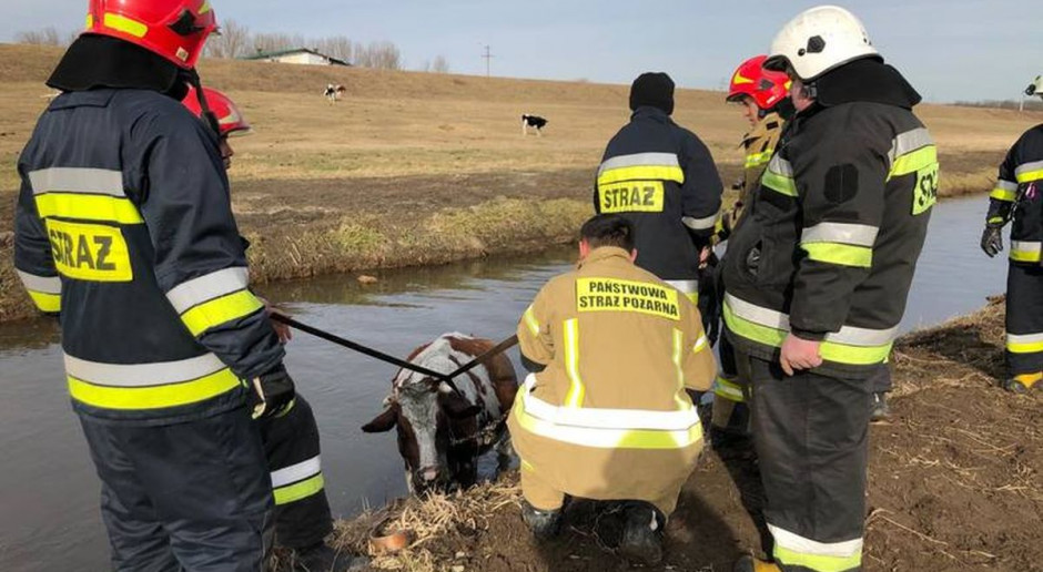 Na ratunek krowie w kanale