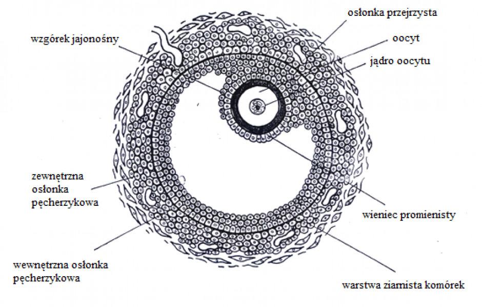Pęcherzyk jajnikowy