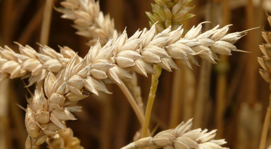 Wzrost ceny pszenicy na paryskiej giełdzie na koniec tygodnia