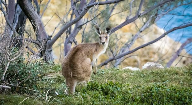 Policjanci łapali na ulicach kangura