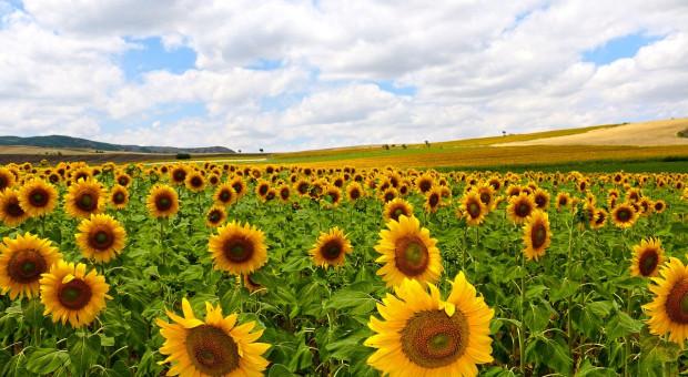Rosja: Eksport nasion roślin oleistych