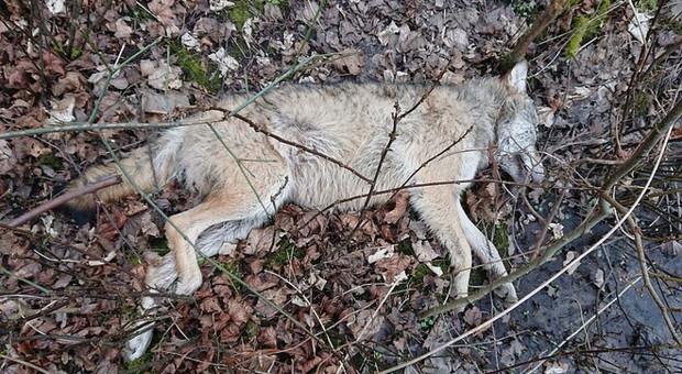 Wędkarz znalazł martwego wilka. Zwierzę prawdopodobnie zastrzelono