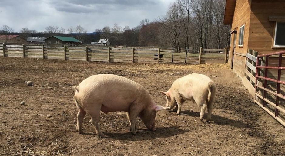 Rosną ceny świń rzeźnych w UE