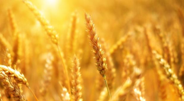 Coceral: Znacząco mniejsze zbiory pszenicy w UE