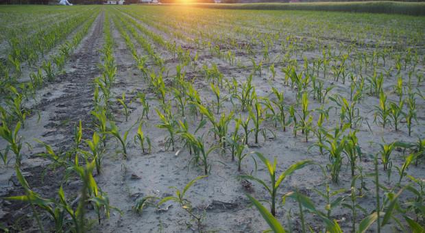 Sztuczna inteligencja dokładniej przewidzi plony kukurydzy
