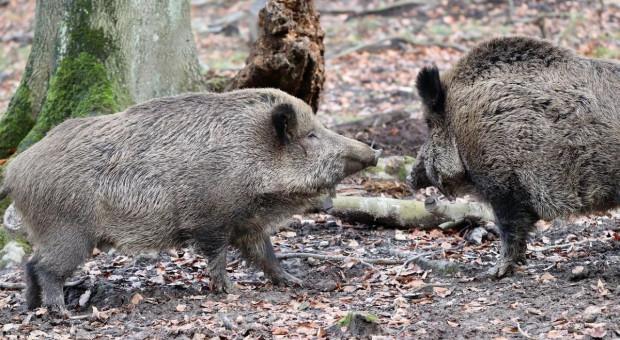 Martwe dziki w Tarnobrzegu i gminie Nowa Dęba
