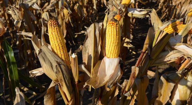 Kukurydza – nowe odmiany 2020