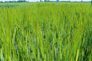 Drugi rok z rzędu susza zdominowała plonowanie jęczmienia