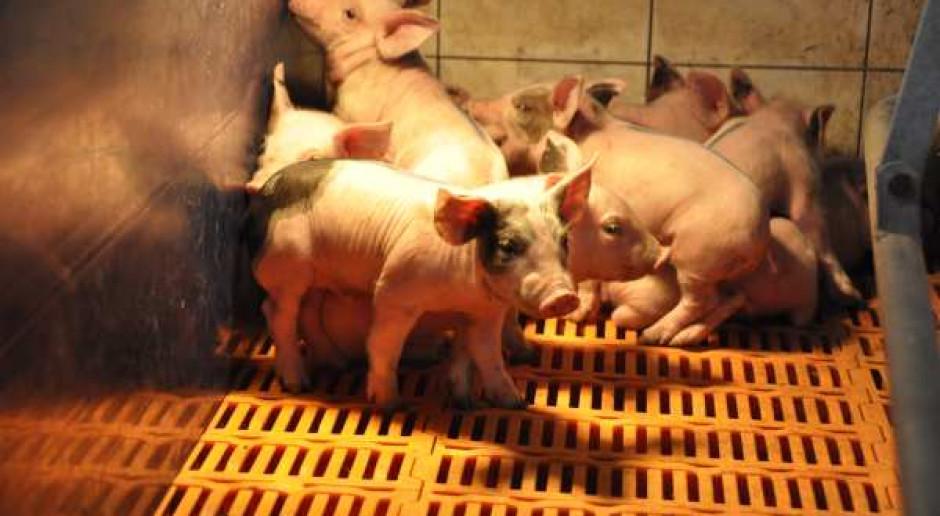 25 tysięcy świń w chowie bez antybiotyków