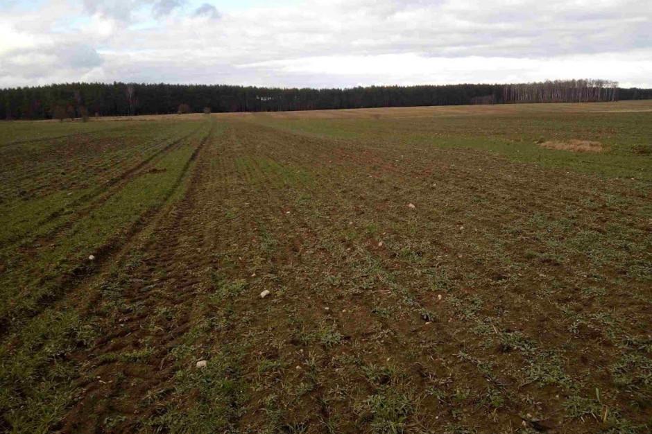 Kolejne zdjęcie z plantacji pszenżyta ozimego zaatakowanego przez łokasia, stan na 26 luty 2020 r. woj pomorskie, plantacja planowana do przesiewu, fot. R. Mładanowicz
