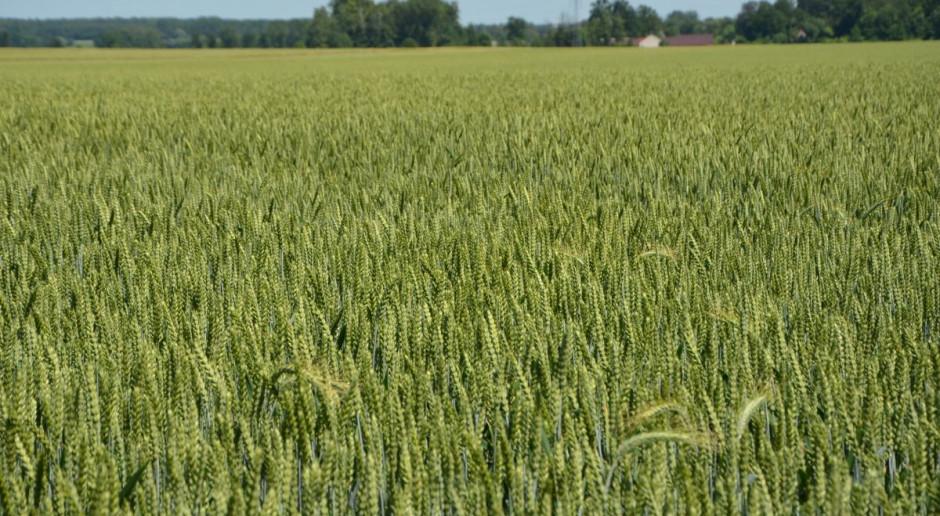 Nowe odmiany zbóż ozimych 2020