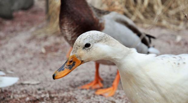 GIW: Kolejne ognisko grypy ptaków w woj. łódzkim
