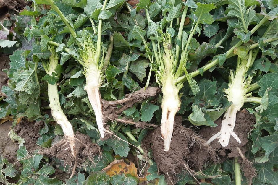 Od lewej: roślin kontrolna (bez regulacji), następnie potraktowana regulatorem, roślina kontrolna -odmiana Invigor 1165, roślina kontrolna-odmiana InVigor 1266 Fot. A. Kobus