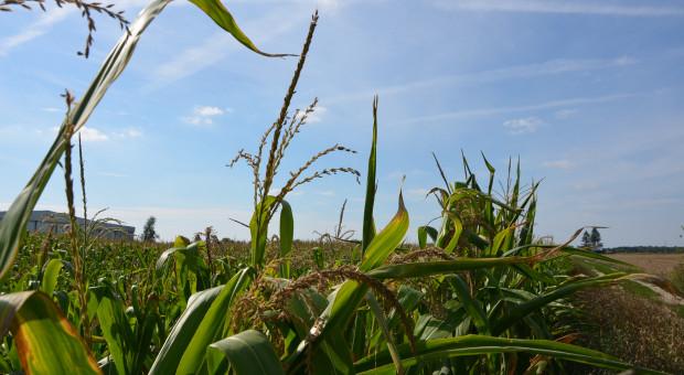 Kukurydza z suszą w tle