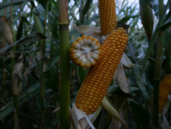 PDO kukurydzy kiszonkowej
