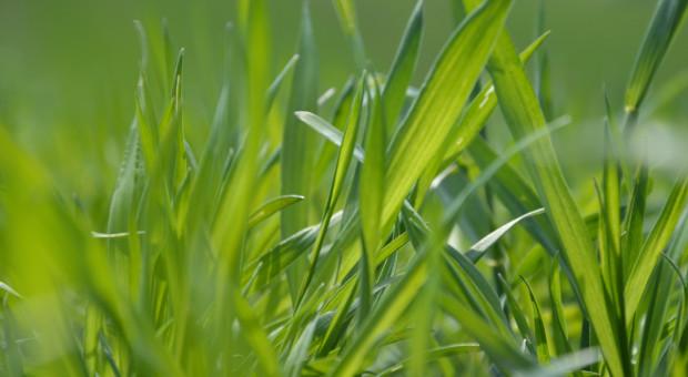 Nowe strategie ochrony fungicydowej zbóż w ofercie Ciech Sarzyna