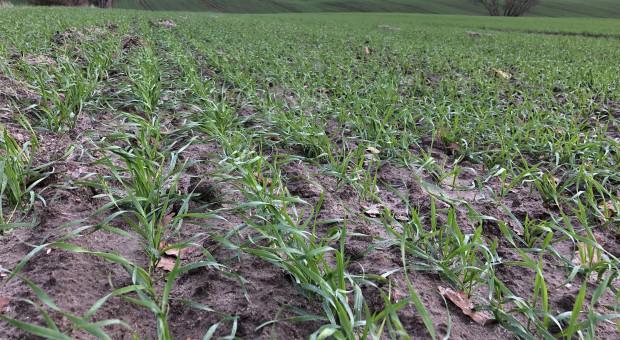 Ekspert: dotychczasowa pogoda sprzyja uprawom ozimym