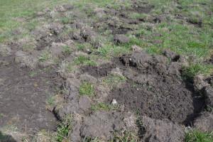 Jeżeli tego typu uszkodzenia darni mają miejsce na większości powierzchni łąki, ta kwalifikuje się do pełnej uprawy, fot. mw