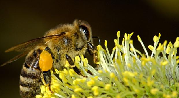 Jedna pszczoła produkuje w ciągu całego życia jedną płaską łyżeczkę miodu