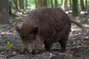 POLPIG: Nie obronimy naszych stad bez redukcji populacji dzików