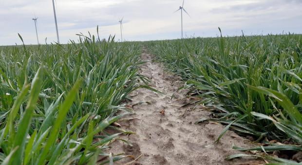 Mało czasu na dokarmianie zbóż miedzią