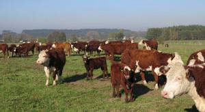 Zarzecki: Jeżeli jest możliwość, to radzimy wstrzymanie sprzedaży bydła