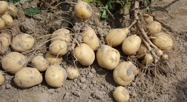 Bakteriozy ziemniaka do skreślenia z listy chorób?