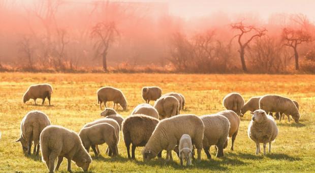 Coraz mniej owiec w UE