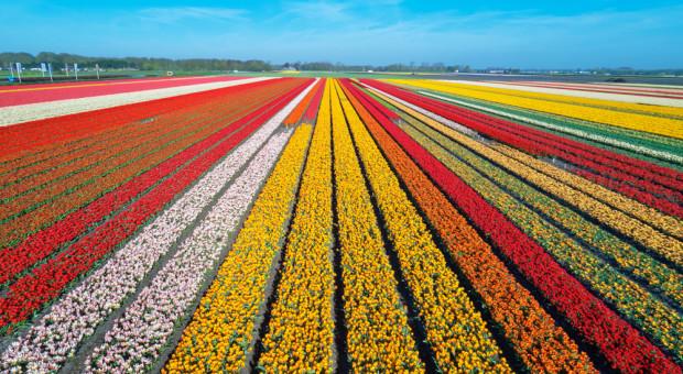 Niderlandzkie ogrodnictwo ponosi wielkie straty. Branża domaga się pomocy państwa