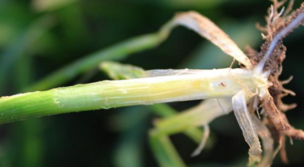 Minimalne temperatury dla działania regulatorów wzrostu zbóż