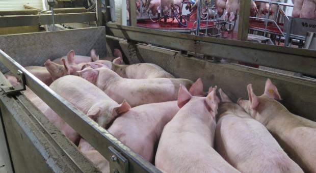 Niemcy odwołują aukcje świń na małej giełdzie