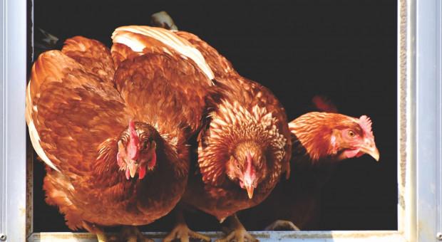 Ogniska ptasiej grypy w Łódzkiem stopniowo wygaszane