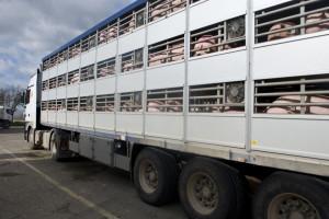 Specjalne przejście graniczne dla transportów zwierząt