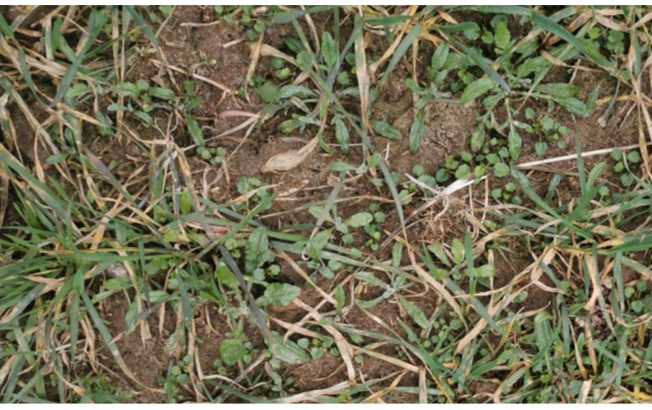 Plantacja pszenżyta (podlaskie), stan na 12.03.2020.Konieczny natychmiastowy zabieg Axial Komplett pak lub Avoxa Pak