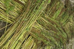 Uprawę konopi włóknistych trzeba uwolnić z bzdurnych przepisów