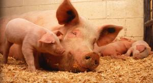 ASF na fermie świń w Lubuskiem. Do utylizacji ponad 20 tysięcy zwierząt