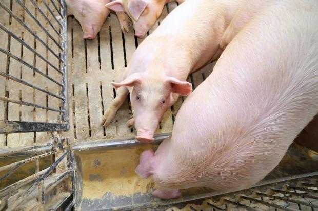 Czy koronawirus dalej będzie ograniczał wzrost cen skupu świń?