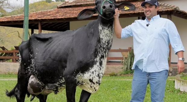 Rekord Guinnessa w produkcji mleka pobity