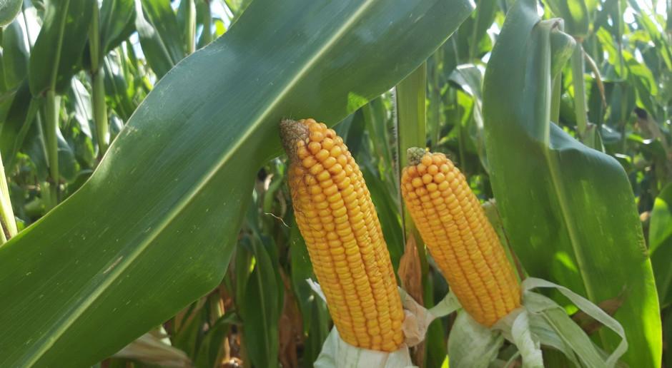 Nowy środek do ochrony kukurydzy od CIECH Sarzyna
