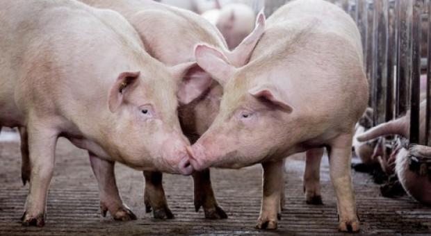 Niemcy: W ciągu roku ubyło ponad pół miliona świń