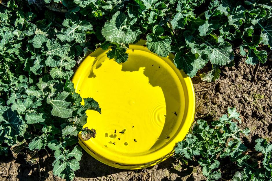 Rozstawienie na polu żółtych naczyń jest prostym i tanim sposobem pozwalającym oszacować konieczność i termin zwalczania szkodników.