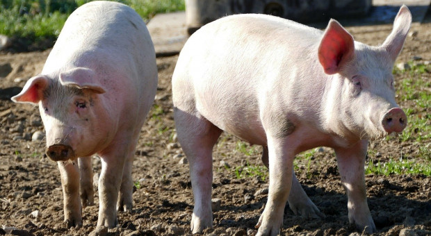 UE: Spadek cen świń rzeźnych