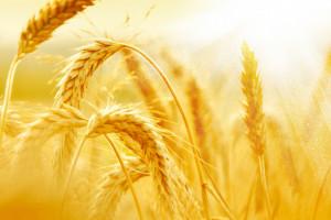 Korekta notowań zbóż na światowych giełdach