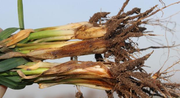 Chore liście, chora podstawa źdźbła, pszenica żółknie