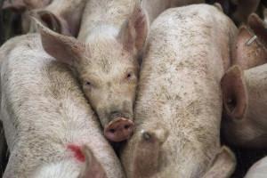 Chiny: Pogłowie świń stale rośnie