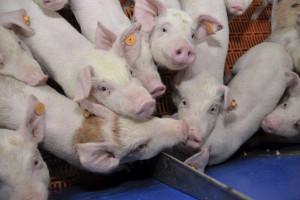 ASF coraz bliżej Niemiec – co to oznacza dla polskiego sektora świń?